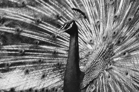 Peacock__1