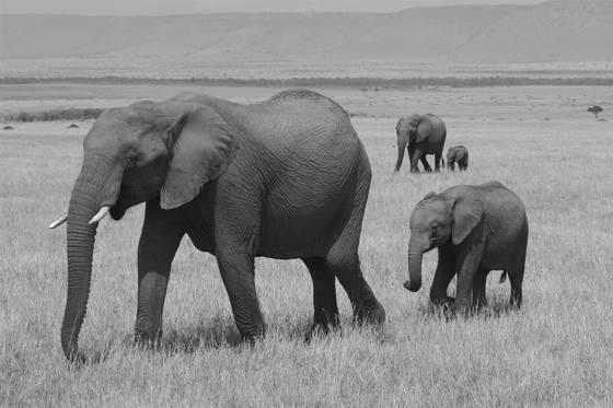 Elephant_families