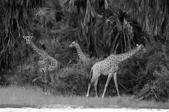 Giraffes in jungle