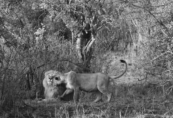 Lion_love