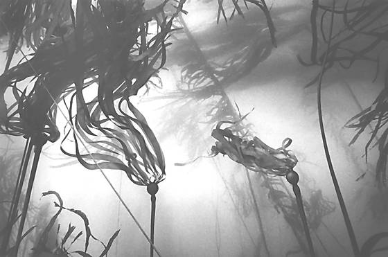 Bull_kelp_forest_dance_1