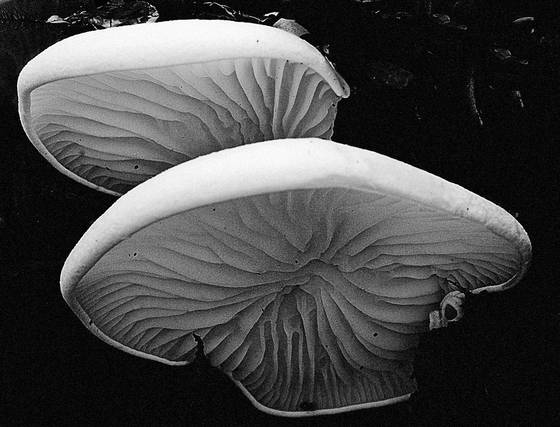 Mushroom_gills