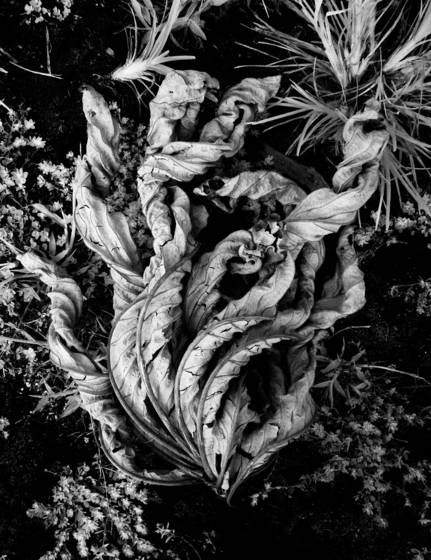 Curled_leaf