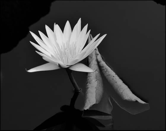 Lily_pond_1