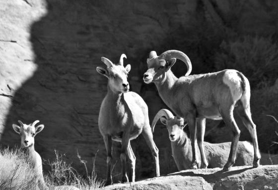 Desert_bighorn_sheep