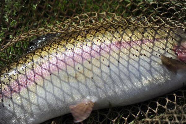 Ardennes, rainbow trout, escaveche
