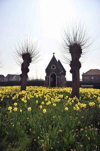 Oudenaard Begijnhof, Daffodils, Trees