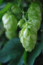 Yakima Chief, Hops