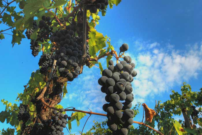 Grapes for Chianti Wine