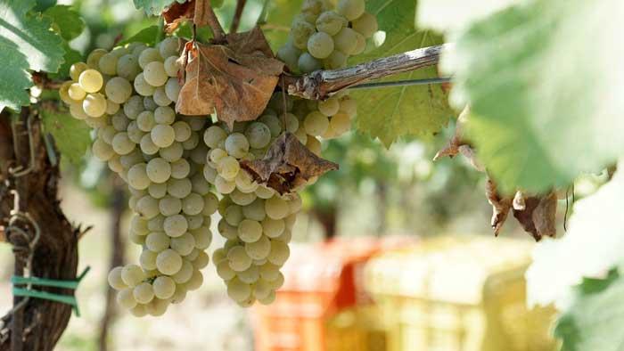 Grape Clusters in Tuscany Vineyard