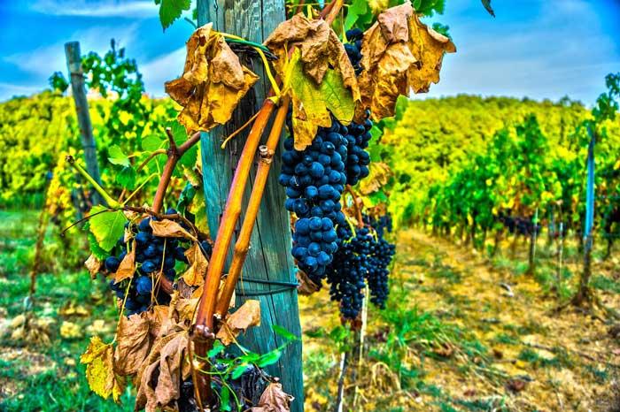 Magic Vineyard Around Siena