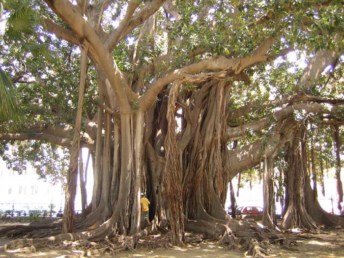 Huge Banyan: Il Fico de Palermo, Sicily
