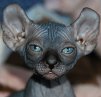 Hairless Cats That Resemble Putin