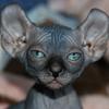 Hairless Cats That Resemble Putin