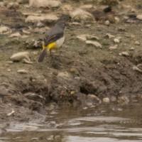 Nutfield_ponds-147_grey_wagtail_750px