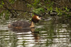 Nutfield_ponds-139_mercers_park_great_crested_grebe