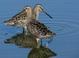 """Spring adult (May), subspecies """"caurinus,"""" Washington."""