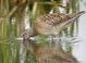 "Late summer juvenile (August), subspecies ""caurinus,"" Washington."