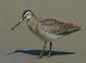 """Fresh juvenile (August), Oregon. Subspecies """"caurinus."""""""