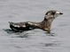 Kittlitz's Murrelet