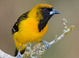 Apparent hybrid adult Altamira Oriole X Audubon's Oriole (February), Texas. Note excess black around eye and black mottling/flecking on auriculars and crown. Black back feathers show narrow orangish-yellow edges.