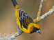 Apparent hybrid adult Altamira Oriole X Audubon's Oriole (February), Texas. Note excess black around eye and onto auriculars and dark flecking on crown. Additionally, black back feathers are edged orangish-yellow (should be solid black in adult Altamira)
