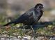 Brewer_s_blackbird-03
