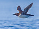 alternate-plumaged adult in flight