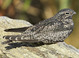 Common Nighthawk