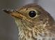 Basic-plumaged adult (July)
