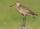 Fresh alternate-plumaged adult male (June). Presumed male based on short looking bill with bright orange basal half.
