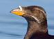 Alternate plumage (July)