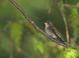 Ruby-throated_hummingbird_-_08