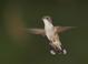 Ruby-throated_hummingbird_-_04