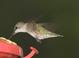 Ruby-throated_hummingbird_-_06