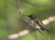 Ruby-throated_hummingbird_-_10