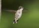 Ruby-throated_hummingbird_-_02