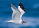 Alternate-plumaged adult