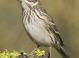 Vesper_sparrow_-_02