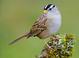 Basic-plumaged adult (February)