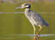Yellow-crowned_night-heron_-_03