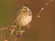 Savannah_sparrow_-_07