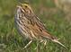 Alternate-plumaged adult (May)