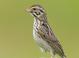 Savannah_sparrow-03