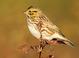 Savannah_sparrow_-_08