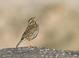 Savannah_sparrow-09