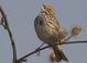 Savannah_sparrow-06
