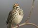 Savannah_sparrow-07