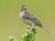 Savannah_sparrow-01