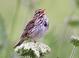 Savannah_sparrow_-_09